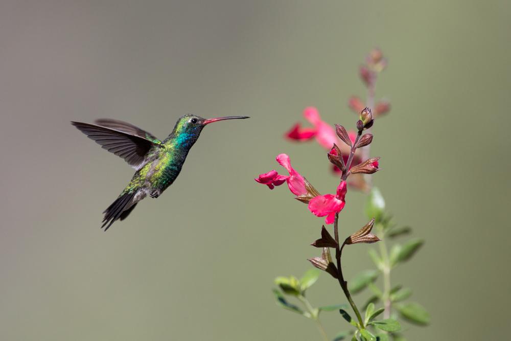 broad-billed_hummingbird_C61A6302w10.jpg