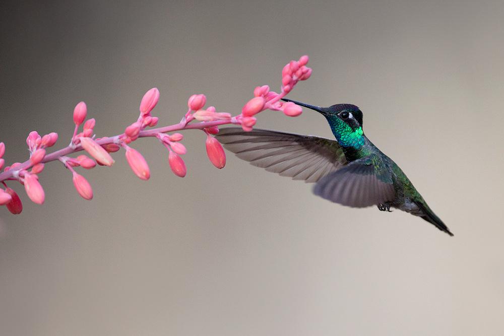 magnificent_hummingbird_AG3P4002w10.jpg