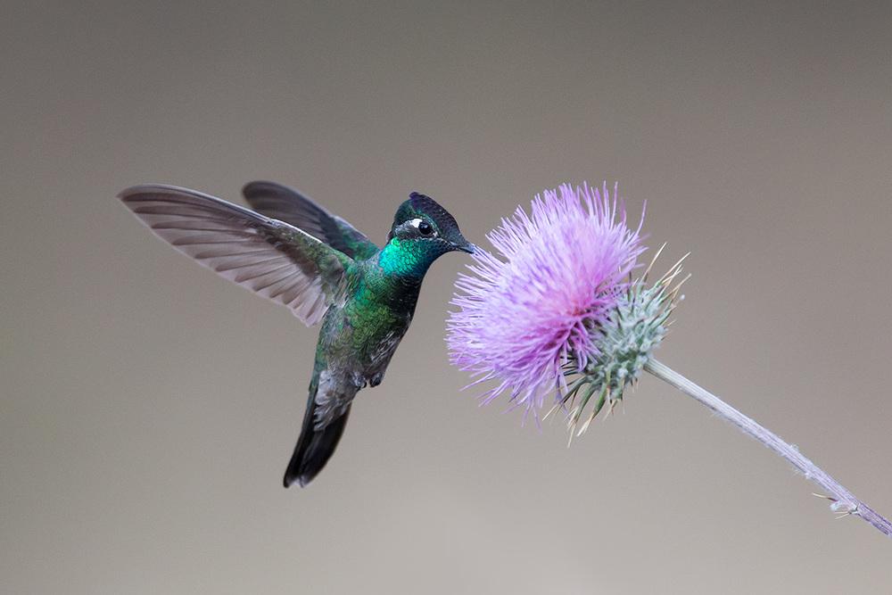 magnificent_hummingbird_AG3P4010w10.jpg