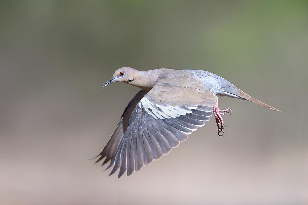 white-winged_dove_AG3P2473w10.jpg