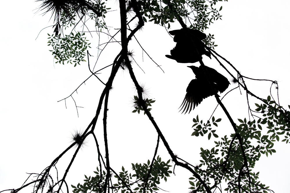 black_vultures_C61A2656b.jpg