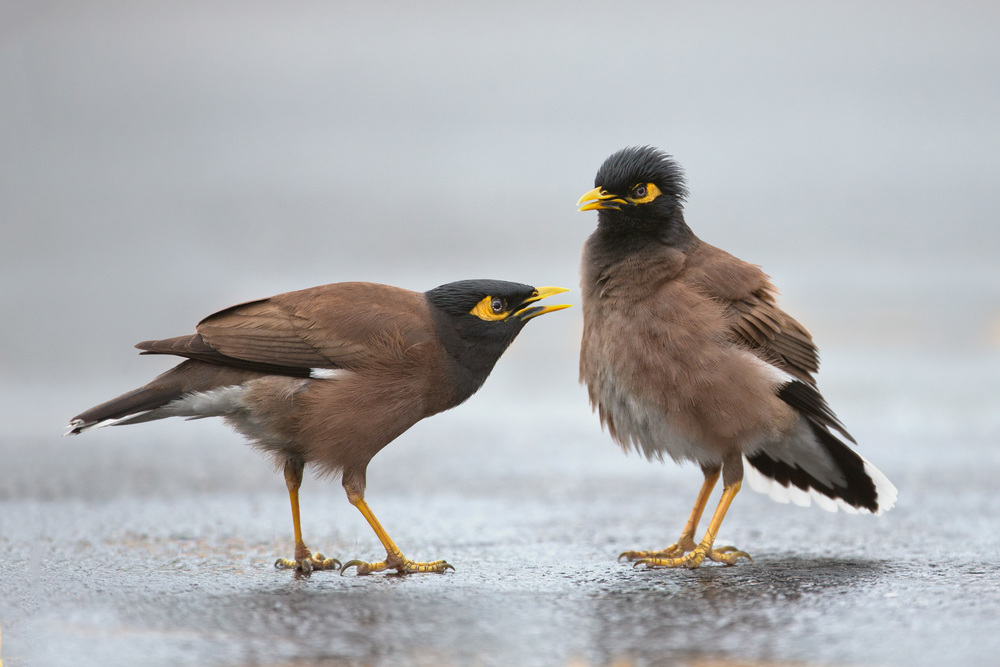 common_myna_AG3P3358b.jpg