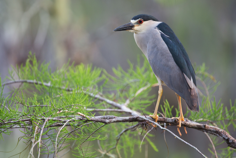 black-crowned_night_heron_AG3P3863b.jpg