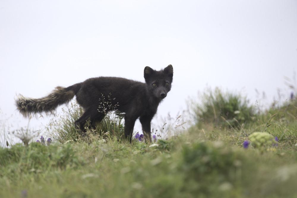 arctic_fox_AG3P3544b.jpg
