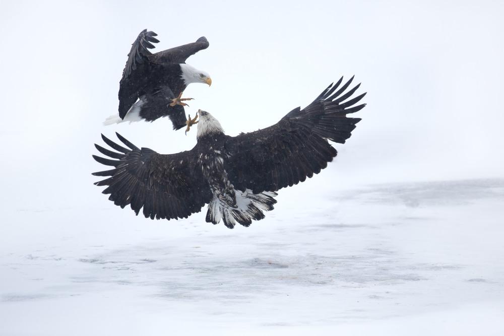 bald_eagle_00500830b.jpg
