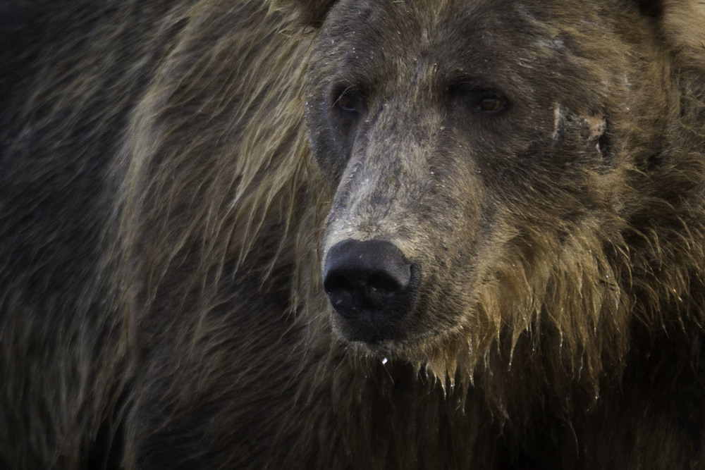 brown_bear_AG3P4610b.jpg