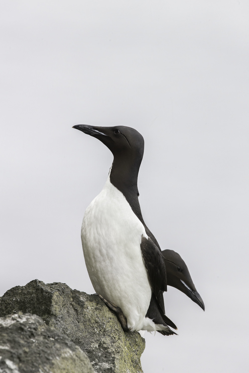 common_murre_AG3P1772b.jpg