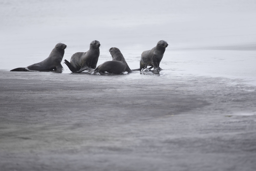 northern_fur_seal_AG3P2501b-Edit.jpg