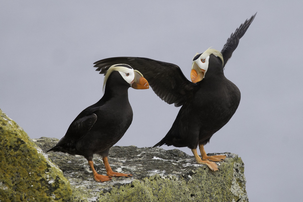 tufted_puffin_AG3P2488b.jpg