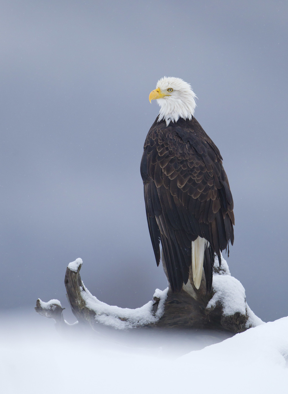 bald_eagle_00426640b.jpg