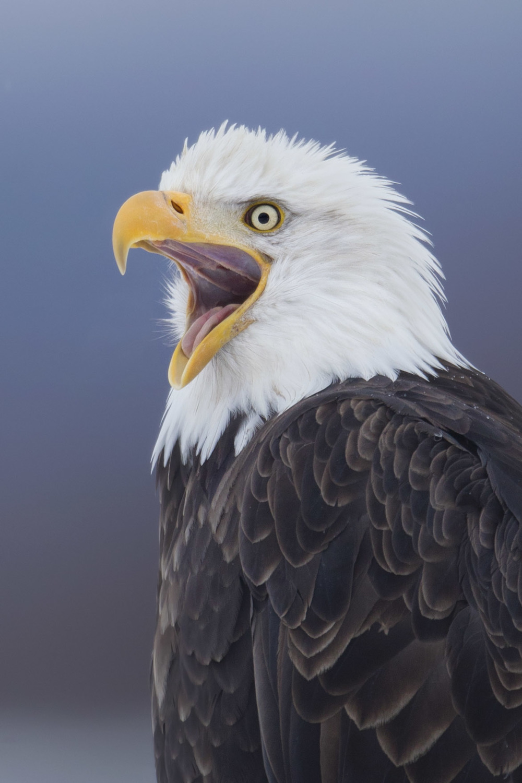 bald_eagle_00426805b.jpg