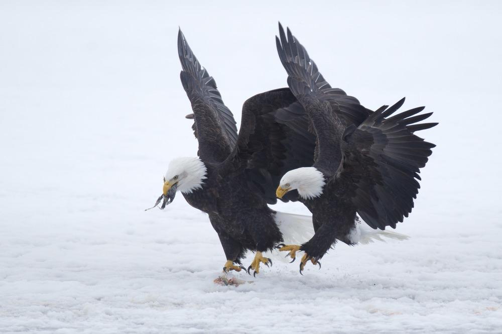 bald_eagle_00428055b.jpg