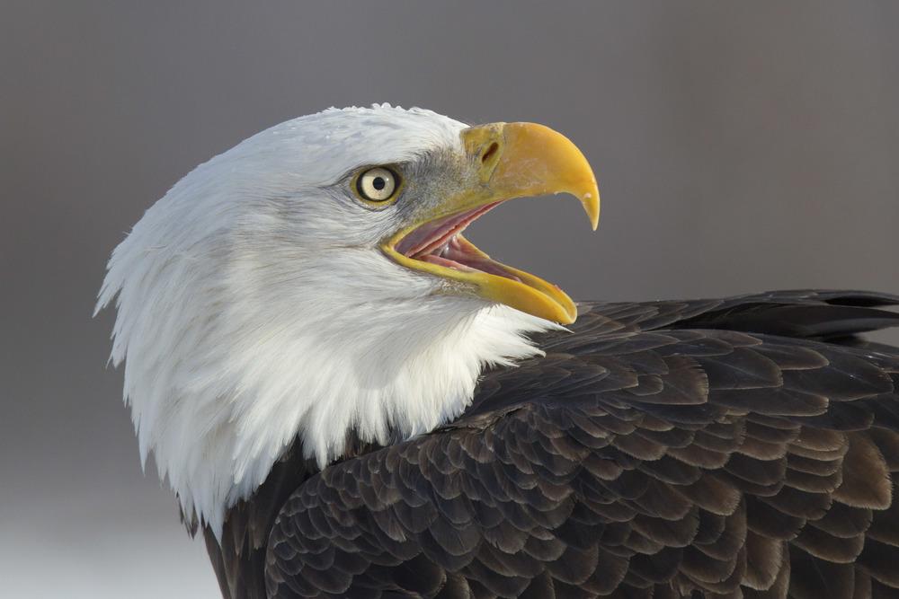bald_eagle_00420220b.jpg