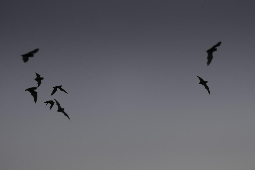 free-tailed_bats_AG3P6588b.jpg