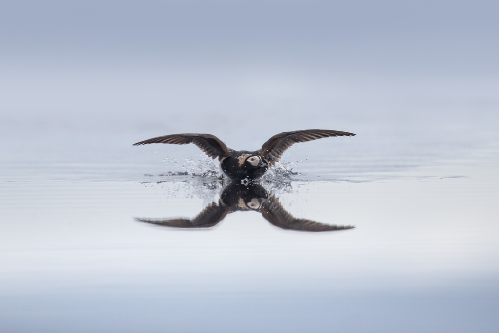 long-tailed_duck_AG3P1486b.jpg