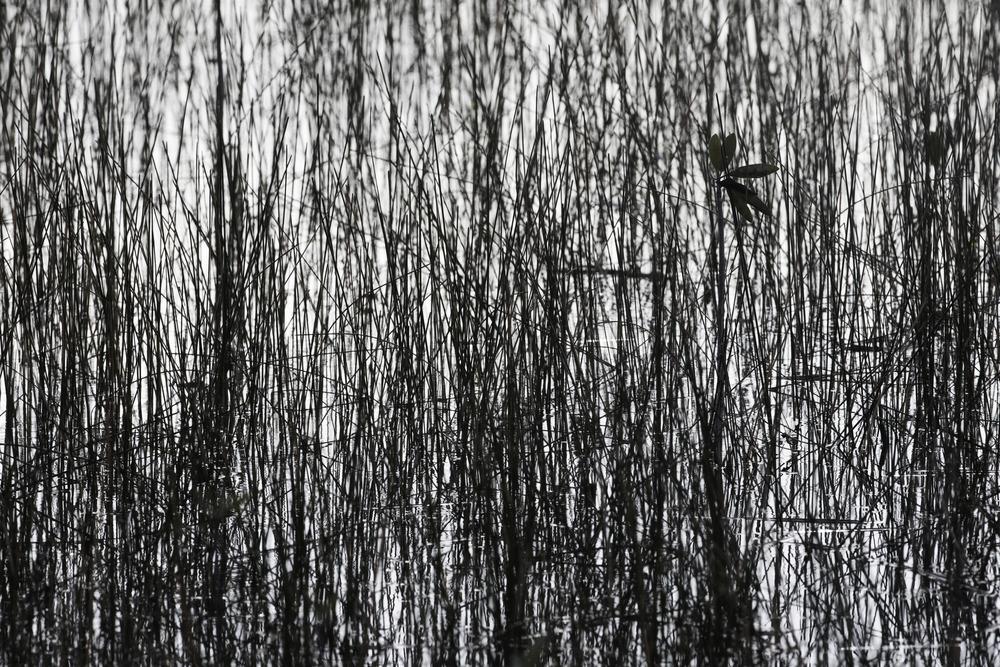 mangrove_AG3P5590.jpg