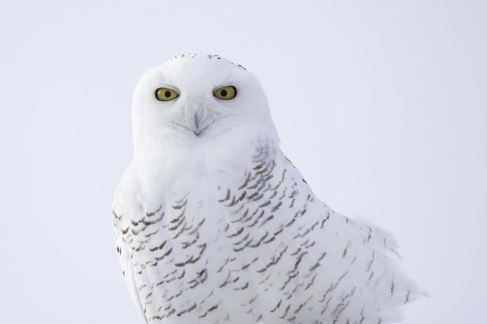 snowy_owl_AG3P3222b.jpg