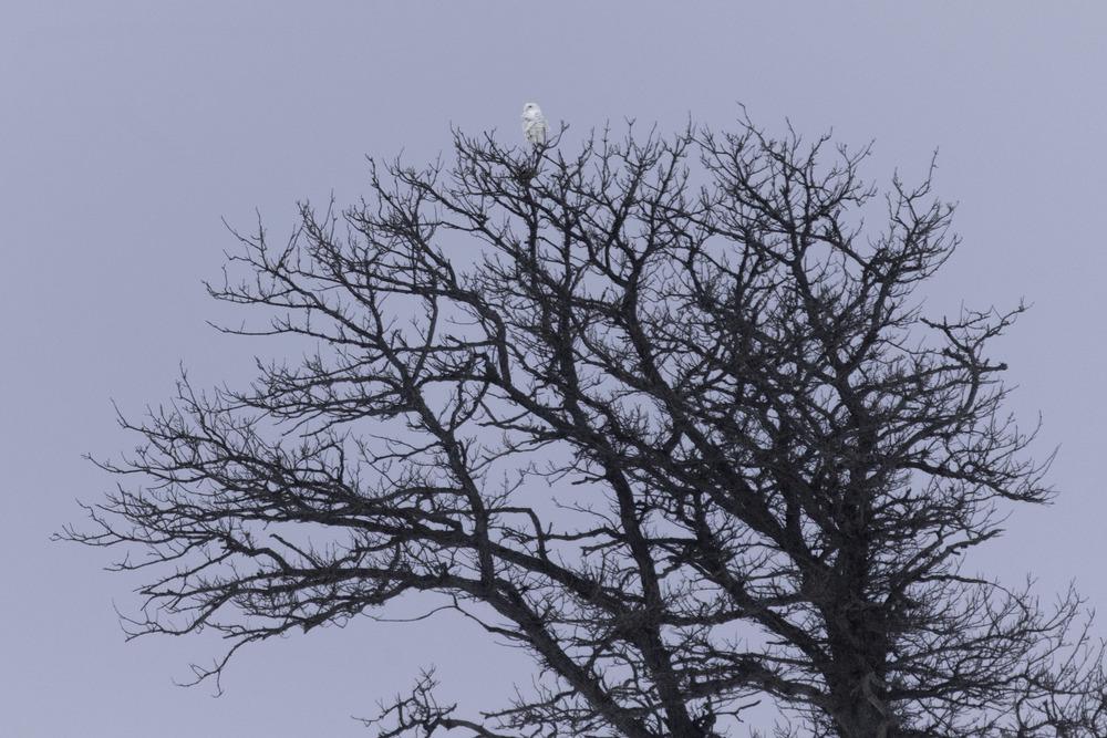 snowy_owl_AG3P3395b.jpg