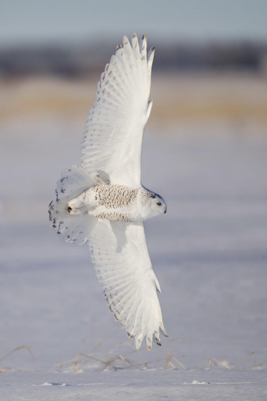 snowy_owl_EI8C0205533b.jpg