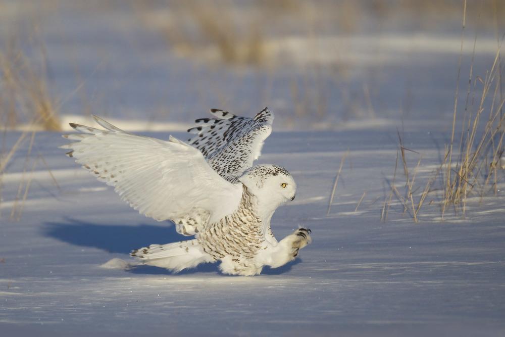 snowy_owl_EI8C5576a.jpg