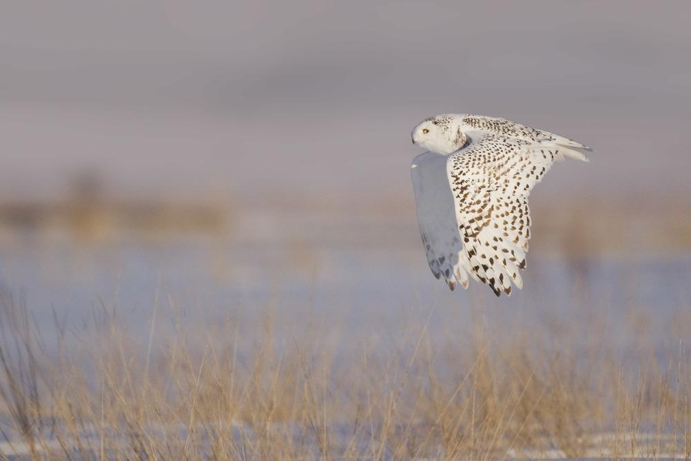snowy_owl_EI8C0225605b.jpg