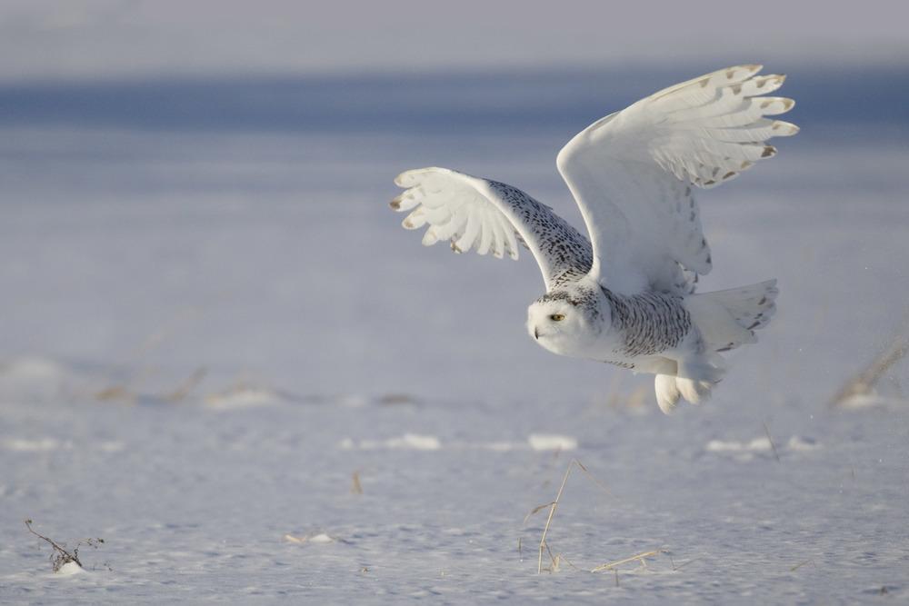 snowy_owl_EI8C0225555b.jpg