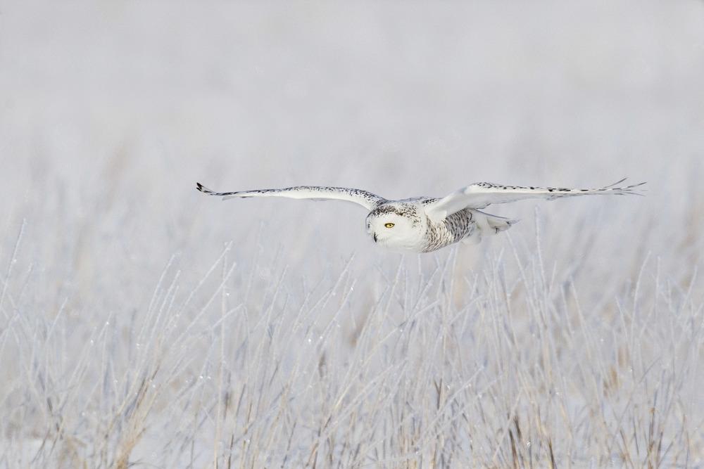 snowy_owl_EI8C0225796.jpg