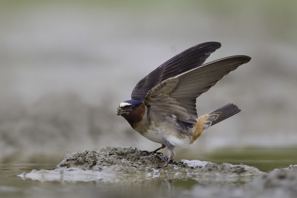 cliff_swallow_AT0I5720c.jpg