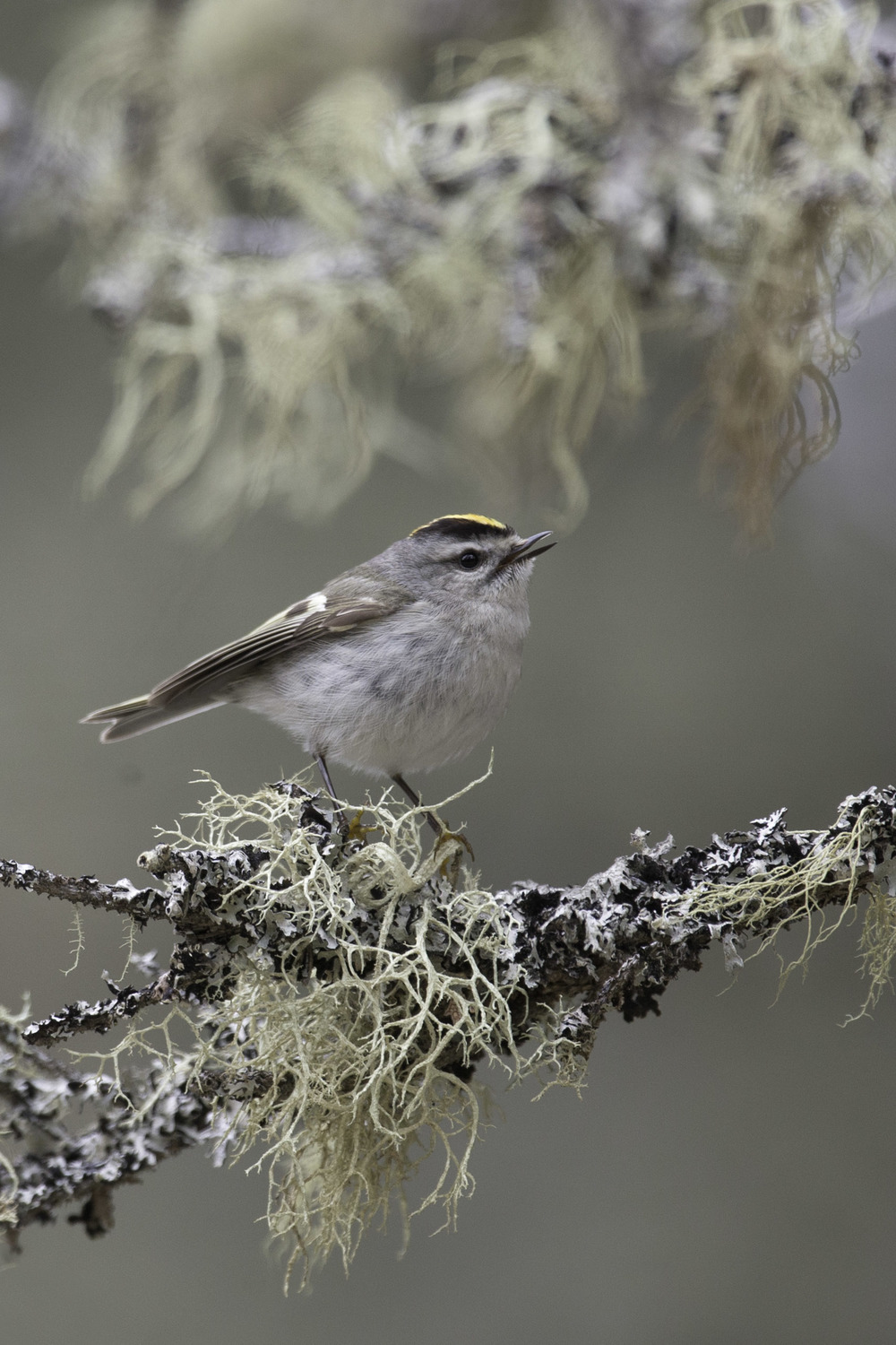 golden-crowned_kinglet_AG3P5668b.jpg
