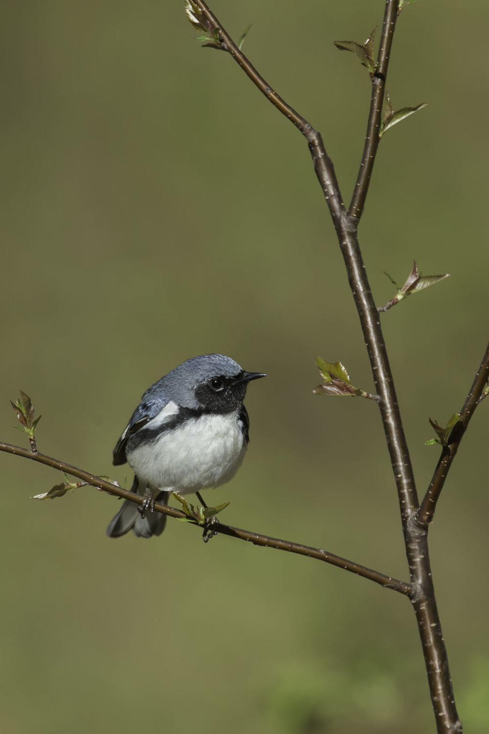 black-throated_blue_warbler_AG3P9437b.jpg