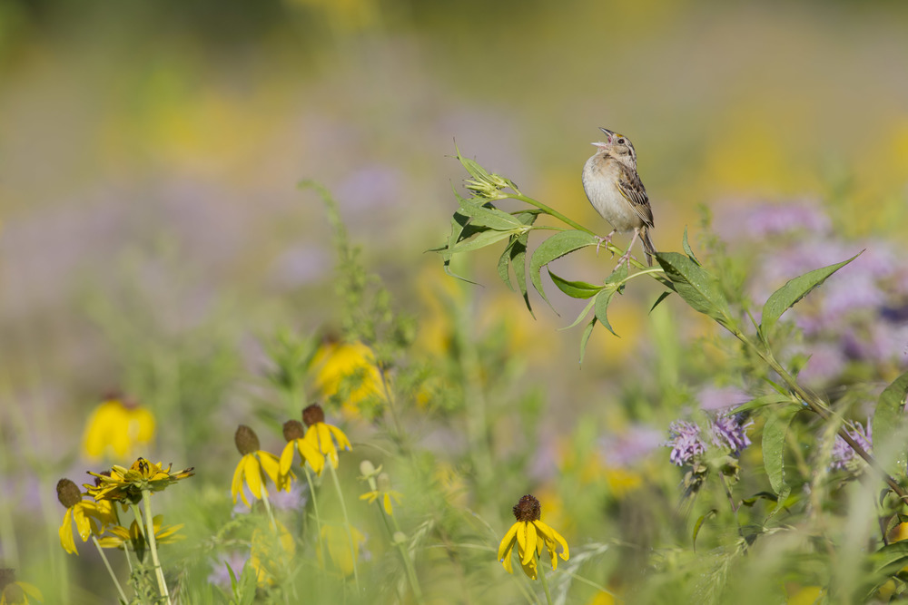 grasshopper_sparrow_00455211a.jpg