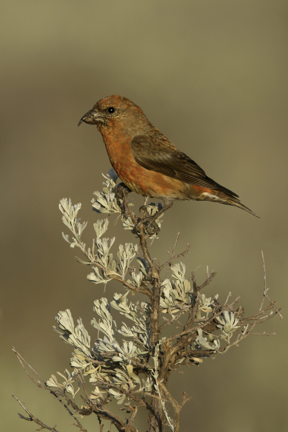 red_crossbill_7523-Edit.jpg