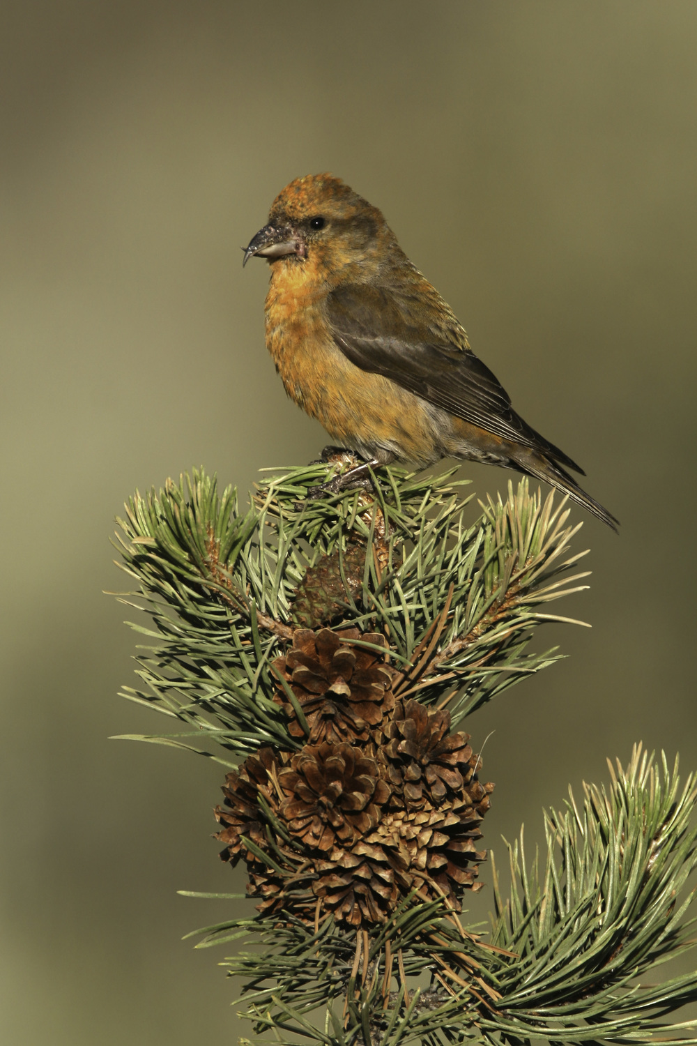 red_crossbill_h7629.jpg