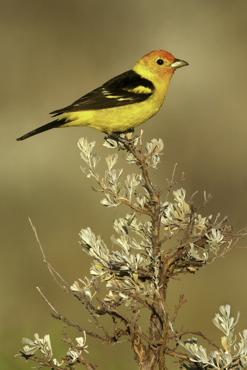 western_tanager_h7536.jpg