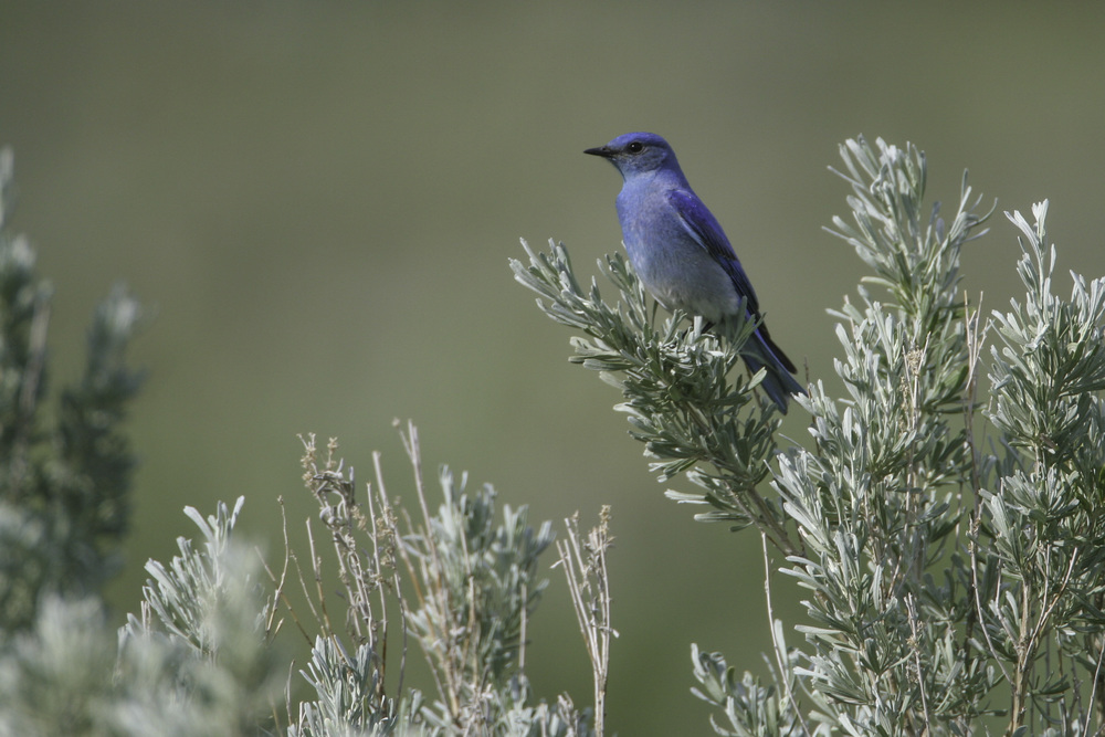 mountain_bluebird_3083b.jpg