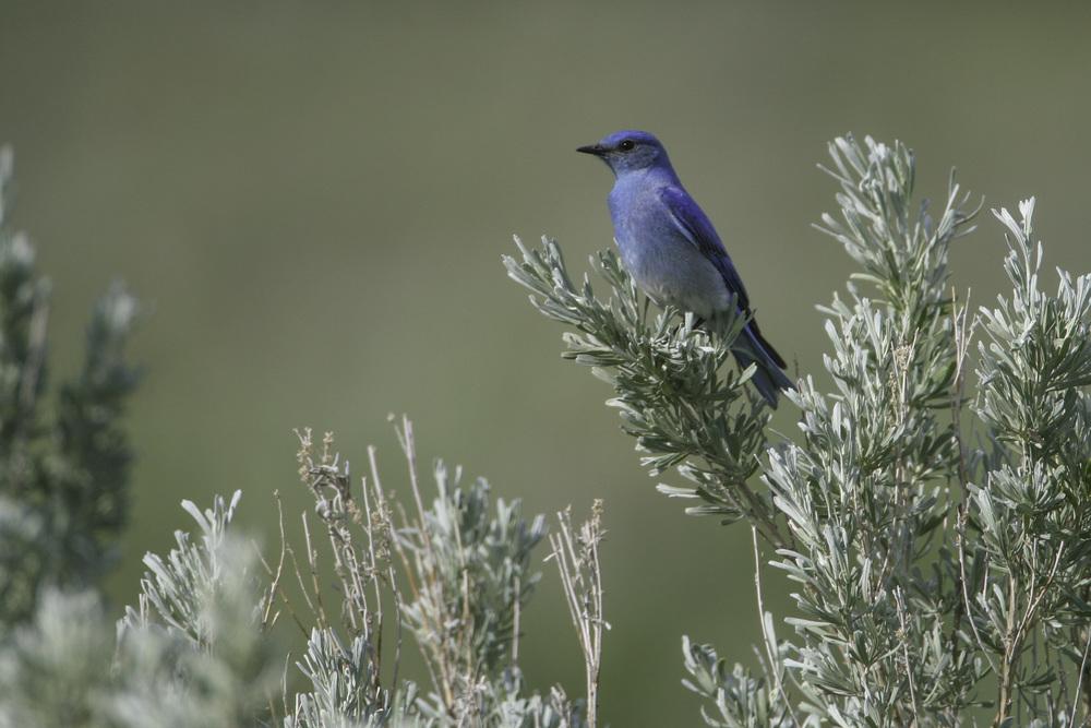 mountain_bluebird_3083b.jpg