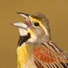 grassland_birds_icon.jpg