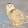 mi_owls_icon-1.jpg