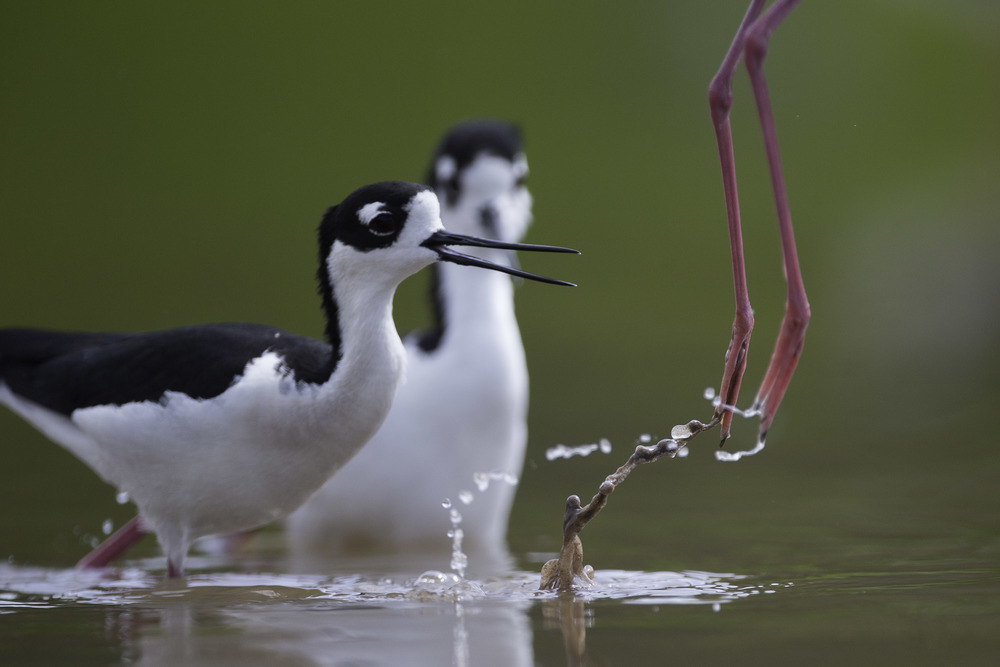 black-necked_stilt_AG3P5817b.jpg