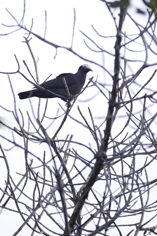 white-crowned_pigeon_AG3P3978b.jpg