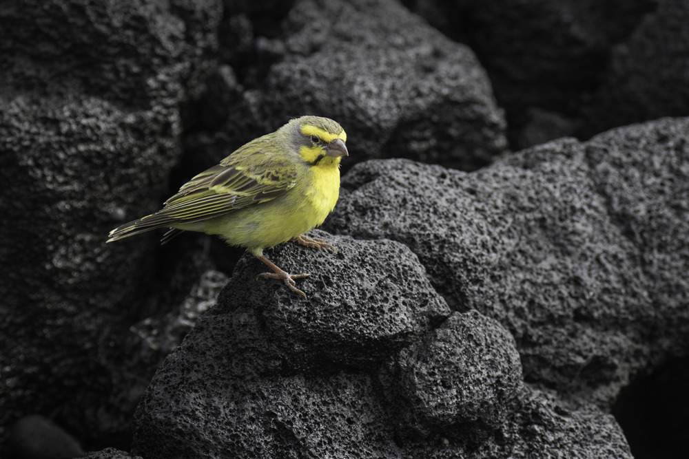 Yellow-fronted_Canary_C76A6260.jpg