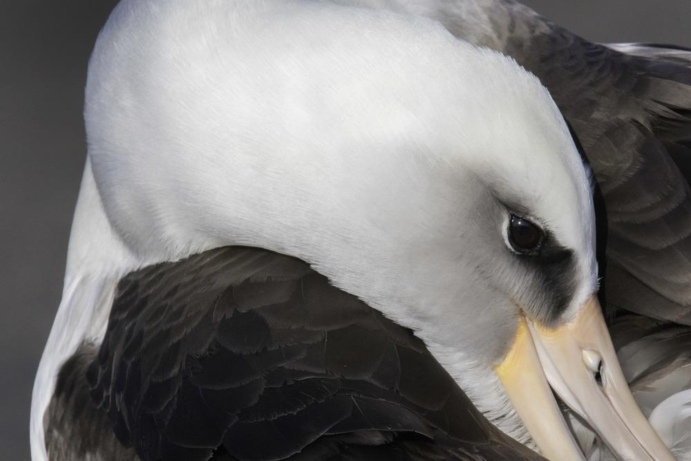 laysian_albatross_C76A8877b.jpg
