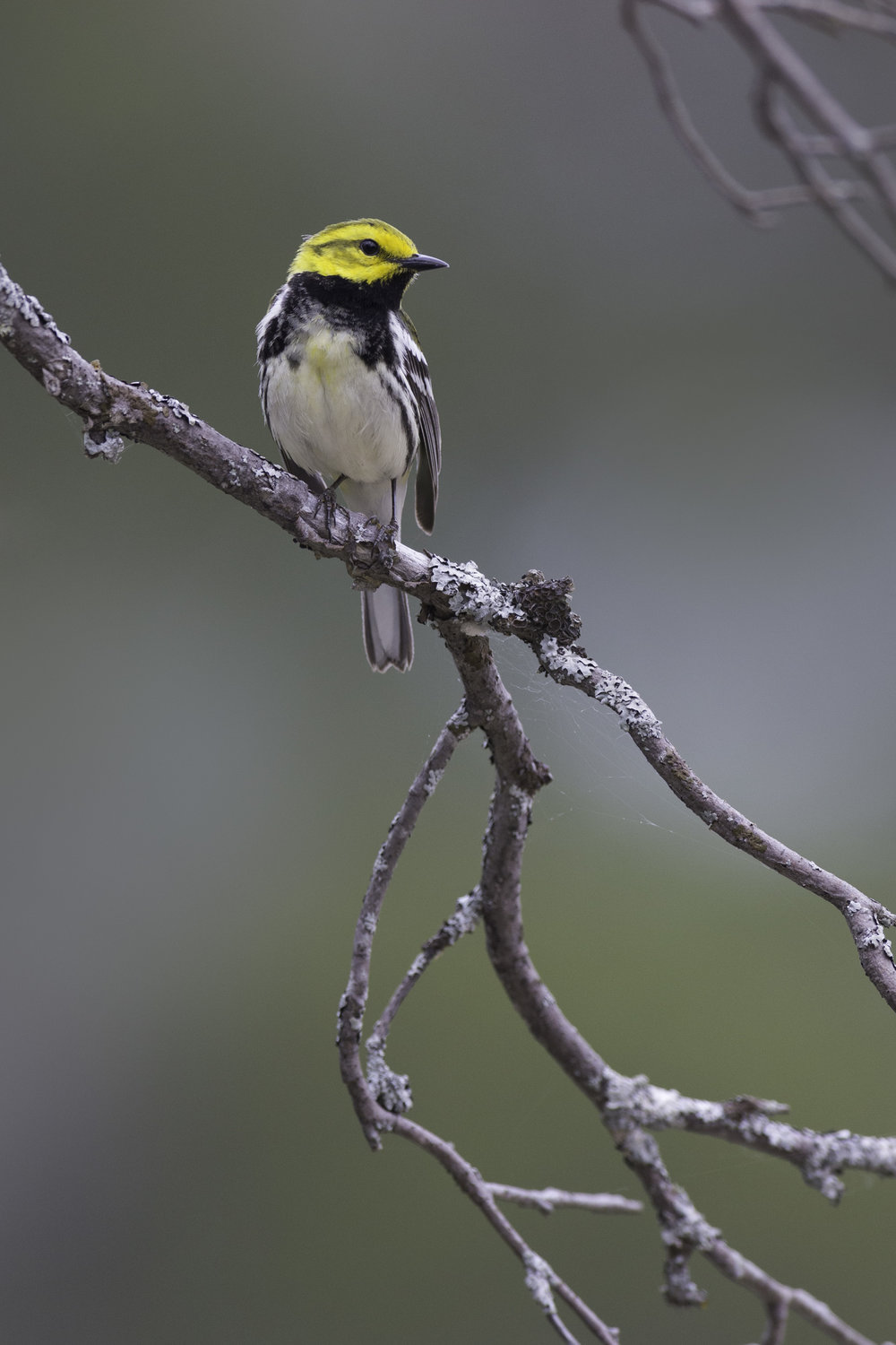 black-throated_green_warbler_8994b.jpg