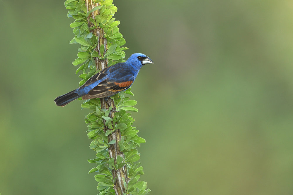 Blue Grosbeak © John Crawley