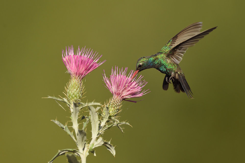 Broad-billed Hummingbird © John Crawley