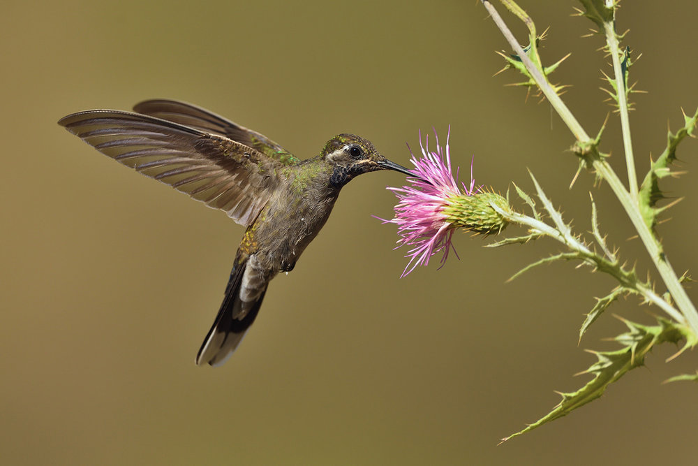 Blue-throated Hummingbird © John Crawley