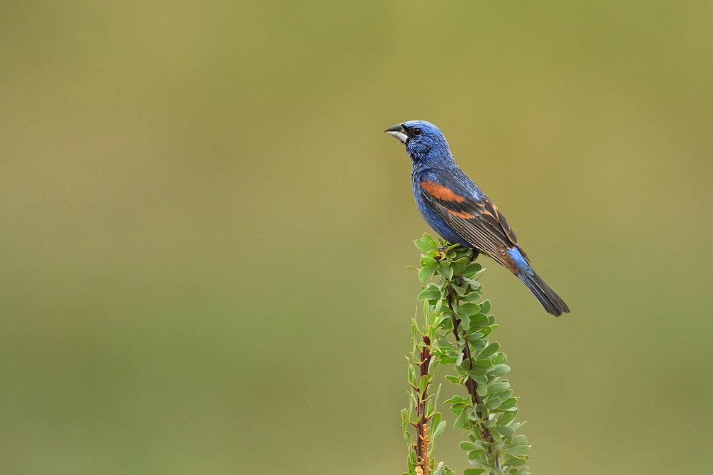 Blue Grosbeak © John Crawley