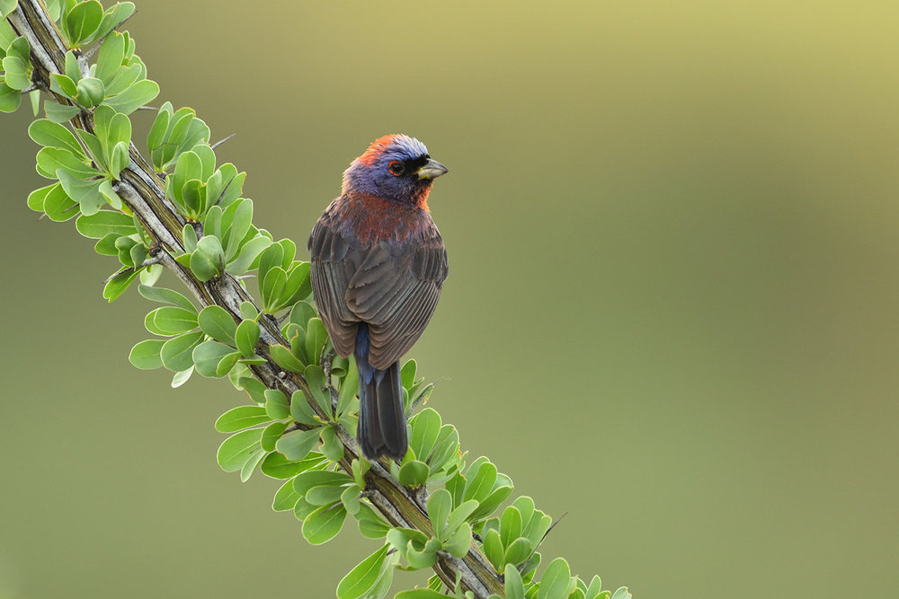 Varied Bunting © John Crawley