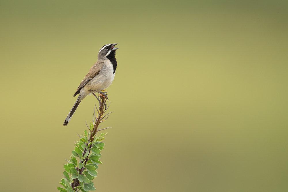 Black-throated Sparrow © John Crawley