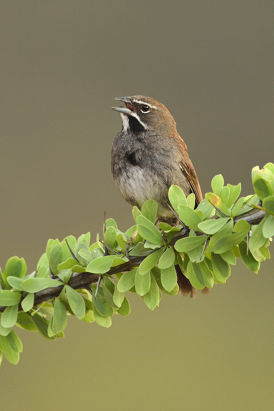 Five-striped Sparrow © John Crawley